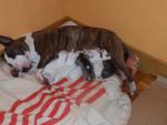Chien Txeka - Bull terrier Femelle (6 ans)