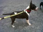 Chien Mini - Bull terrier Femelle (10 mois)