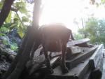 Chien Bull - Bull terrier Mâle (1 an)