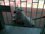 Chien Duque - Bull terrier Mâle (4 ans)