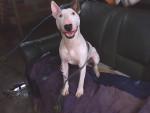 Chien Murdock - Bull terrier Mâle (8 mois)