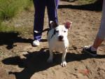 Chien kora - Bull terrier Femelle (4 mois)