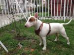 Chien Jacob - Bull terrier Mâle (8 ans)