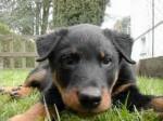 Chien rex - Bull terrier Femelle (1 mois)