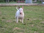 Chien Dala - Bull terrier Femelle (6 ans)