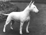 Chien Tomy - Bull terrier Mâle (1 an)