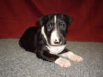 Chien Luna - Bull terrier Femelle (2 mois)