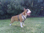 Chien Iron - Bull terrier Mâle (10 mois)