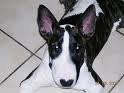 Chien ange - Bull terrier Femelle (3 mois)