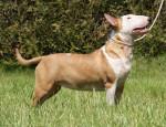 Chien Edelweiss - Bull terrier Femelle (10 mois)