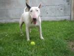 Chien bubull - Bull terrier Femelle (6 mois)