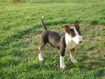 Chien Gladiateur - Bull terrier Mâle (3 mois)