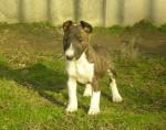 Chien zuzia - Bull terrier Femelle (3 mois)