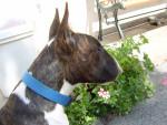 Chien Boomer - Bull terrier Mâle (4 ans)