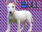 Chien Bull - Bull terrier Femelle (1 an)