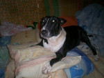 Chien  - Bull terrier  ()