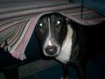 Chien  - Bull terrier  (0 mois)