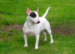 Chien rookie - Bull terrier Mâle (8 mois)