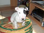 Chien Akia  Bull terrier - Bull terrier  (0 mois)
