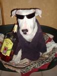 Chien bull terrier    snoop - Bull terrier  (0 mois)
