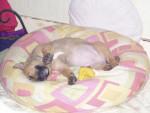 Chien bull terrier rotweiller - Bull terrier  (0 mois)