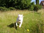 Chien BULL TERRIER-Slïde - Bull terrier  (0 mois)