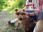 Chien bouille bull terrier rottweiller - Bull terrier  (0 mois)