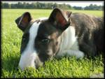 Chien Bull Terrier Chips - Bull terrier  (0 mois)