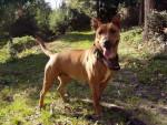Chien bull terrier rottweiller - Bull terrier  (0 mois)