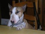 Chien Bull Terrier  \