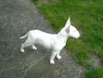 Chien bull terrier   Bulle - Bull terrier  (0 mois)