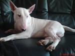 Chien bull terrier dodger\'s - Bull terrier  (0 mois)