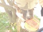 Chien bull terrier thai - Bull terrier  (0 mois)