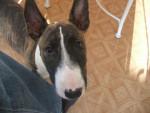 Chien bull terrier chanel - Bull terrier  (0 mois)