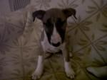 Chien bull terrier aiko - Bull terrier  (0 mois)