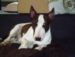Chien BULL TERRIER - FALCO (FONDZI) par VASCO - Bull terrier Mâle (0 mois)
