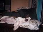 Chien BULL TERRIER - FALCO (FONDZI) par VASCO - Bull terrier  (0 mois)