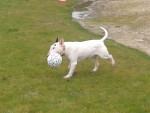 Chien Bad boy - Bull terrier Mâle (10 ans)