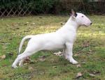 Chien Didi - Bull terrier  (0 mois)