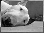 Chien Vegas - Bull terrier  (0 mois)