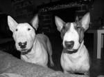 Chien Vegas & Bamba - Bull terrier  (0 mois)
