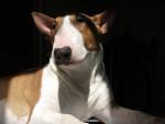 Chien Bamba - Bull terrier  (0 mois)