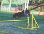 Chien Evora 2 ans - Bull terrier Femelle (2 ans)