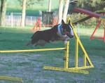 Chien Evora 2 ans - Bull terrier  (2 ans)