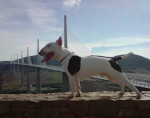 Chien Crunsh 16 mois - Bull terrier Femelle (1 an et 4 mois)