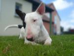 Chien Crunsh - Bull terrier  (0 mois)