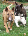 Chien Petite meute de Minis Bulls Terriers - Bull terrier  (0 mois)