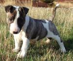 Chien Exocet des Terres du Salagou - Bull terrier  (0 mois)