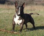 Chien Gordon\'s du Mas des Rêves - Bull terrier  (0 mois)