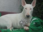 Chien Utopie femelle Bull terrier - Bull terrier  (0 mois)